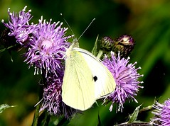 underside Small White 12.7.19 (ericy202) Tags: underside small white butterfly thistle