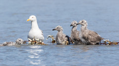 Getting your ducks in a row (spwasilla) Tags: water river chick bird herringgull gull