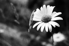 (danjamesphotography) Tags: flower daisy oxeyedaisy petal