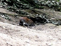 Bank Vole 12.7.19 (ericy202) Tags: bank vole titchwell rspb
