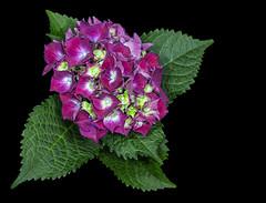 Hortensie (ulrichcziollek) Tags: hortensie strauchhortensie hydrangea blume blüte blumen