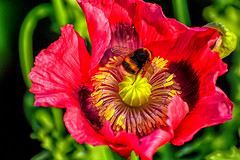 Poppy flower with a bumblebee (scorpion (13)) Tags: poppy flower with bumblebee blossom nature insect garden color creative photoart summer plant