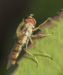 Episyrphus balteatus -  Hoverfly#70 (Ben Revell) Tags: animalia arthropoda insecta diptera syrphidae syrphini episyrphus episyrphusbalteatus hoverfly scunthorpe lincolnshire england macro nature