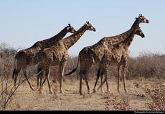 Giraffes, Etosha NP, Namibia (JH_1982) Tags: giraffe giraffa 长颈鹿 기린 жирафы giraffes giraffen camelopardalis animal animals wildlife nature tier tiere waterhole small bushes natur etosha national park nationalpark np pn parque parc nacional etoscha 埃托沙國家公園 этоша namibia namibië 纳米比亚 ナミビア 나미비아 намибия