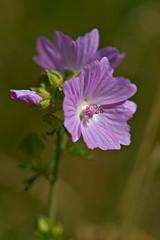 Malva (pstenzel71) Tags: blumen natur pflanzen mallow malva malve darktable flower bokeh