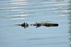 floatingrefugem (michaelmaguire4) Tags: water floatinglog turtles