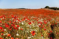 Blackstone Poppies (Macro light) Tags: worcestershire poppies flowers mayweed bewdley poppyfields blackstonefarmfields