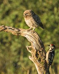 Double Trouble (Fourteenfoottiger) Tags: greatspottedwoodpecker woodland woodpecker birds raptor owl littleowl athenenocturne owlet trees britishcountryside photobomb birdofprey nature wildlife wildbird