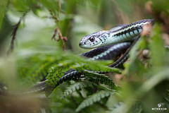 Leafy Peeper (matthewolsonphotography.com) Tags: snake gartersnake commongartersnake snakes reptile reptiles wildlife thamnophis herp macro leafy canon5d