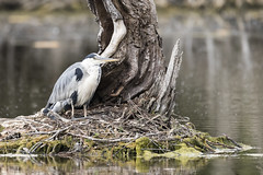 Repos contre un arbre - Rest against a tree (bboozoo) Tags: oiseau bird héron heron nature animal wildlife arbre tree lake lac eau water canon6dmarkii tamron150600 repos rest branche branch