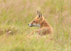 2422. WILD FOX CUB; (lakelover2012 (TONY COOKNEY).(From Windermere)) Tags: fox cub canon 300mm 28 photograph photography wildlife nature animal outdoor