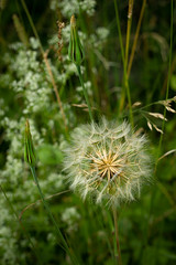 Photo of Spectacular goat's beard seed head
