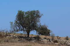 Olive Tree (Terry Hassan) Tags: cyprus kıbrıs κύπροσ pittokopos plant tree fruit crop rural olive πιττοκόποσ