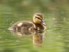 Duckling (PhotoLoonie) Tags: duck duckling mallard waterbird nature wildlife