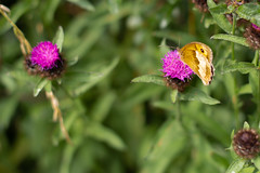 Photo of Meadow brown butterfly on Knapweed flower