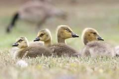 Canada goose goslings (Phátography 分店) Tags: goslings gosling goose geese california canon canoneos7dmarkii canoneftelephoto200mmf20 canadageese canadagoose canadagoosegoslings legglake legglakepark outdoor park wildlife waterfowl whittiernarrowsrecreationarea