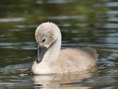 Cygnet (PhotoLoonie) Tags: swan muteswan cygnet waterbird wildlife nature