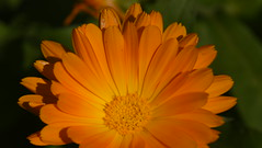 Orange Gazania (rq uk) Tags: rquk nikon d750 macro macromondays2019 patternsinnature nikond750 afsvrmicronikkor105mmf28gifed orange gazania macromondays