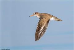 Flying Spotted Sandpiper (Daniel Cadieux) Tags: sandpiper spottedsandpiper flight fly flying wings shorebird ottawariver ottawa petrieisland