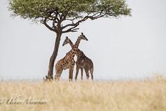 Giraffes (mayekarulhas) Tags: narok riftvalleyprovince kenya masaimara safari photos wildlife wild giraffes canon
