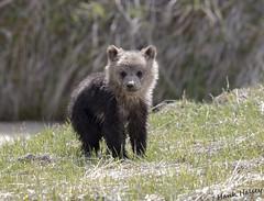 Grizzly Cub......C.O.Y.>>>Cub of the Year (Hank Halsey) Tags: hmk42305cr2 grizzlybear grizzlycub coy cuboftheyear yellowstonenationalpark hankhalseyphotography