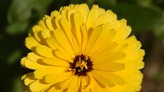 Yellow Gazania (rq uk) Tags: rquk nikon d750 nikond750 afsvrmicronikkor105mmf28gifed macro macromondays2019 patternsinnature yellow gazania macromondays
