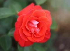 'Smokin Hot' (Through Serena's Lens) Tags: garden blooming red rose flora flower closeup dof bokeh plant nature outdoor canoneos6dmarkii