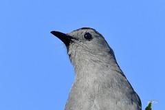 Gray Catbird (jt893x) Tags: 150600mm bird catbird d500 dumetellacarolinensis graycatbird jt893x nikon nikond500 portrait sigma sigma150600mmf563dgoshsms songbird coth coth5 thesunshinegroup alittlebeauty sunrays5