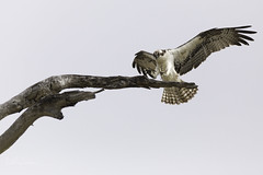 Landing practice (Lisa Roeder) Tags: osprey pismobeach birds raptors wildlife nature natgeo