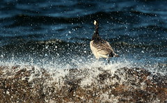 """""""The barnacle Goose"""",,,on the stone,,, (irio.jyske) Tags: naturepic naturepictures naturephotograph naturescape naturephoto naturephotos nature naturephotographer naturepics natural nice birdphotographer bird birdphotograph birdphoto birdpics birdpic birds animalphotographer animal animalphotograph animals waves sea water summer drops wind storm colors barnaclegoose"""