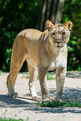 Standing lioness (Toruko Photography) Tags: a7rii animals basel big cat close female grass lion lioness sigma sony standing switzerland wild zoo
