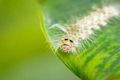 (Markus Hill) Tags: zanzibarnorth africa travel macro nature animal canon insect caterpillar zanzibar sansibar raupe tansania 2019