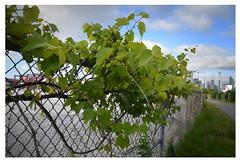 Grape vines (mcfcrandall) Tags: grapes crane cntower vine fence chainlink city bikepath grass nature urban construction toronto