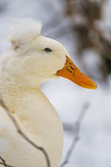 White duck in the snow (Tambako the Jaguar) Tags: duck white goose bird close profile portait face cute snow winter cold siky park zoo crémines switzerland nikon d5