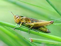 Fairlie Moor Grasshopper1(6) (g crawford) Tags: insect crawford fairliemoor ayrshire northayrshire macro closeup nikon d300s grasshopper