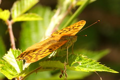 Silver Washed Fritillary at Whiteley Woods, Hampshire (Art-G) Tags: insect butterfly silverwashedfritillary whiteleywoods whiteley hampshire uk canon eos7dmkii sigma150600c extensiontube bokeh pseudomacro