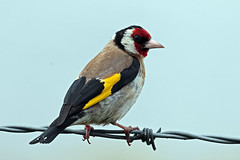 goldfinch (DODO 1959) Tags: wildlife goldfinch animal avian birds fauna finch nature outdoor perch canon 100400mmmk2 7dmk2 wwt llanelli carmarthenshire wales
