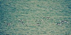 Halo (Jam Faz) Tags: ane brun bj halo te linnea olsson sea fly birds nature flock bando voar