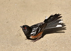 Spotted Towhee (C-O) Tags: may 28corr008 arboretum bird spotted towhee tail feathers nature arcadia ca may28corr