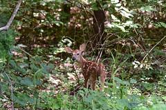 Deer-Whitetail-Fawn_2080e (Porch Dog) Tags: 2019 garywhittington nikond750 nikkor200500mm deer wildlife nature whitetail fawn lbl landbetweenthelakes betweentherivers summer