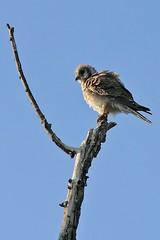 Falco sparverius Linnaeus, 1758 (carlos mancilla) Tags: aves birds pájaros falcosparveriuslinnaeus1758 falcosparverius cernícaloamericano americankestrel falconiformes falconidae canoneos550d canoneosrebelt2i ef70300mmf456isusm