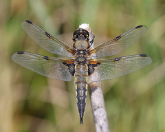 Four spotted chaser (Wayne A J.) Tags: four spotted chaser