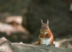 Eurasian Red squirrel (ian._harris) Tags: nikon d750 tamron g2 150600 wilde nature wildlife animals naturephotography natur life flickr outside naturaleza redsquirrel rodent eurasian sciurusvulgaris russet tuftedears uk