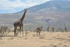 Ngorongoro Conservation Area, Tanzania (rivarix) Tags: tanzania africa africansafari animal conservationarea ngorongoroconservationarea crater