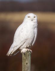 Snowy Owl (Turk Images) Tags: snowyowl strigidae alberta owls canada winter birds migration