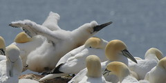 Fluffy (Nephentes Phinena ☮) Tags: helgoland northerngannet basstölpel birding birdphotography vogelfotografie wildlife seabirds