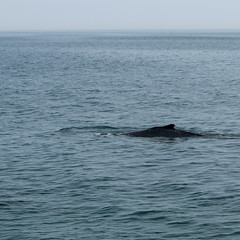 20190710-IMG_9264.jpg (ChathamGardens) Tags: capecod whale stellwagenbanknationalmarinesanctuary provincetown dolphinix whalewatch humpbackwhale