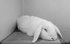 Doing the Torpedo (daveseargeant) Tags: bunny rabbit bun lop portrait leica x typ 113 monochrome blackwhite bw black white kent medway