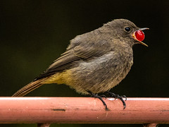 In my garden (schlagilein) Tags: canon sigma nature natur natureinfocusgroup vögel birds