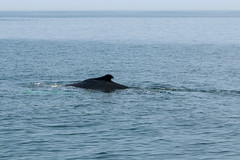 20190710-Whale Watch (ChathamGardens) Tags: capecod whale stellwagenbanknationalmarinesanctuary provincetown dolphinix whalewatch humpbackwhale